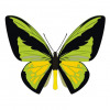 Ornithoptera goliath butterfly vector