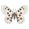 Parnassius apollo butterfly vector
